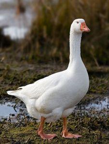 453px-Domestic_Goose