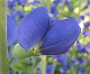 734px-Baptisia_australis_-_false_blue_indigo_-_desc-flower_side_view