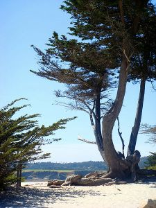 Monterey Cypress at Carmel-by-the-Sea