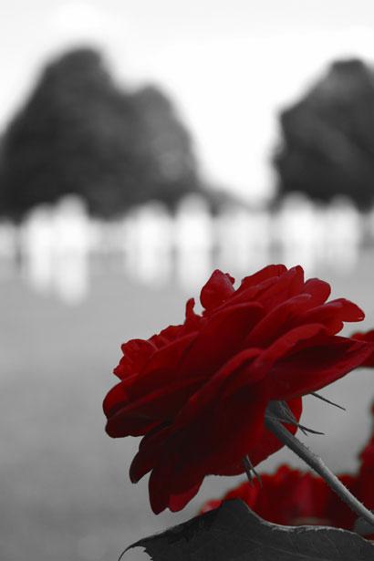 red-rose-331279048760jPY0