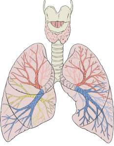469px-Lungs_diagram_detailed.svg