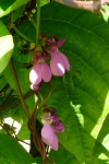 common_bean_blossoms