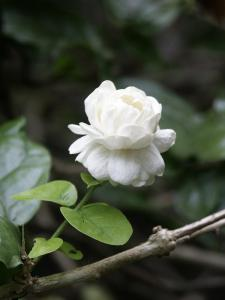 Arabian Jasmine (another name for Damascus is City of Jasmine)