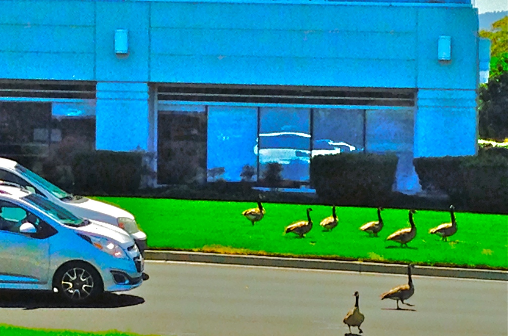 Canadian Geese at Redwood Shores