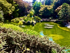 Koi Pond at Japanese Tea Garden where I often sit to read and write poetry