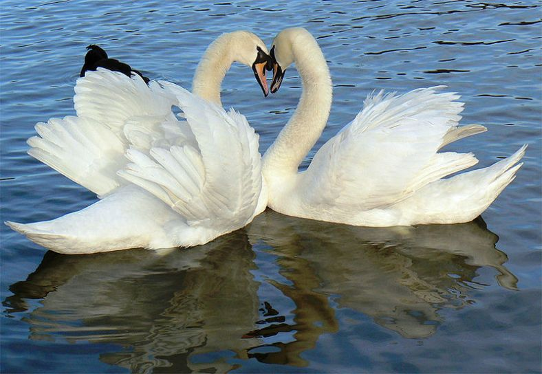Swan (Hansa, हंस) is the symbol for Brahman-Atman in Hindu iconography. Brahman (/brəhmən/; ब्रह्मन्) connotes the highest Universal Principle, the Ultimate Reality in the universe.