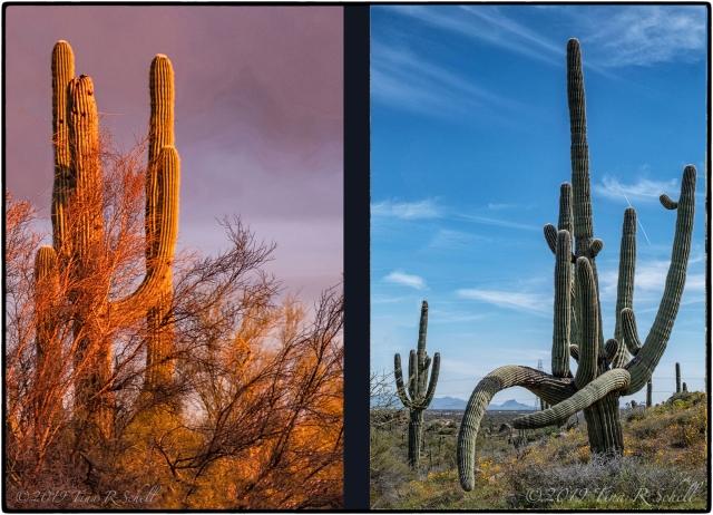 2 living cholla cacti vs 1 dead cactus